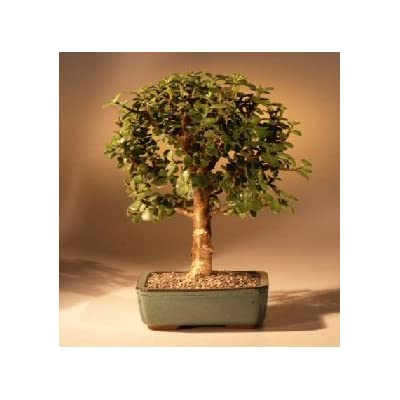 Sheryls Shop baby jade tree : Bonsai Plants : Grocery & Gourmet Food