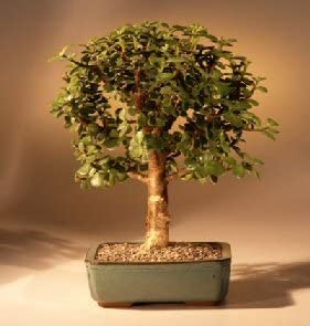Amazon Com Bonsai Boy S Baby Jade Bonsai Tree Complete Starter Kit Garden Outdoor
