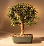 Bonsai Boy's Baby Jade Bonsai Tree Complete Starter Kit
