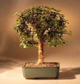 Bonsaiboy Baby Jade Bonsai Tree - Medium Portulacaria Afra