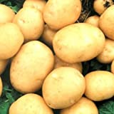 buy Rare Ukrainian Organic vegetable True Potato seeds Asol, Early Solanum Tuberosum now, new 2018-2017 bestseller, review and Photo, best price $1.98