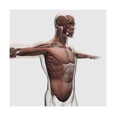 Anatomía de los músculos de macho parte superior del cuerpo, de ...