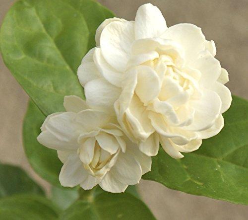 Jasmine 'Grand Duke of Tuscany' ~ Jasminum Sambac, Arabian ~ Live Starter Plant by southern_garden