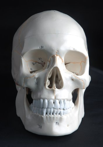 Wellden Product Anatomical Human Skull Model, 3-part, Numbered, with Sutures, Life Size E2110
