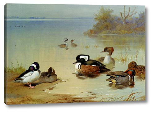 Buffel-Headed Duck, American Green-Winged Teal and Hooded Merganser by Archibald Thorburn - 10