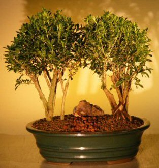 Flowering Mount Fuji Serissa Double Tree Planting (serissa foetida) by Bonsai Boy