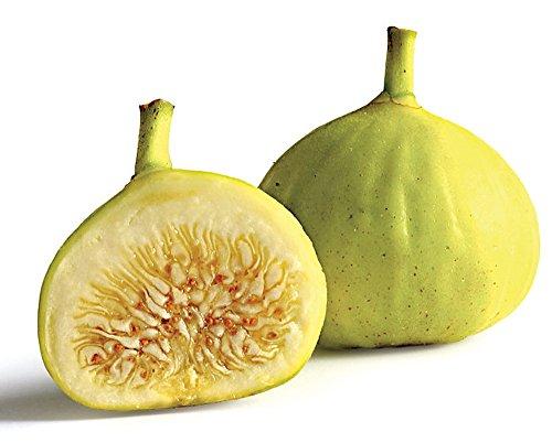 White Marceilles Edible Fig Plant - Ficus - 2.5