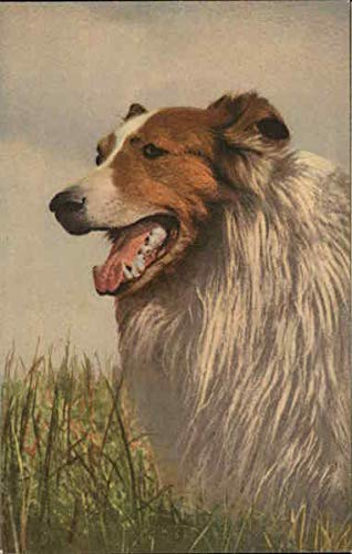 Collie in grass Dogs Original Vintage Postcard from CardCow Vintage Postcards
