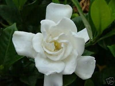 10 Semillas de Gardenia Jasminoides Chuck Hayes Hardy