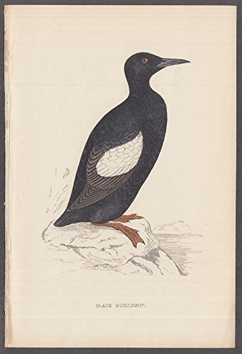 Black Guillemot waterbird hand-colored engraving ca ()