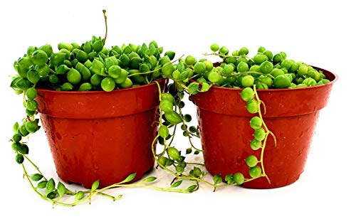 Fat Plants San Diego Succulent Plant(s) Fully Rooted in 4 inch Planter Pots with Soil - Real Live Potted Succulents/Unique Indoor Cactus Decor (2, String of Pearls)
