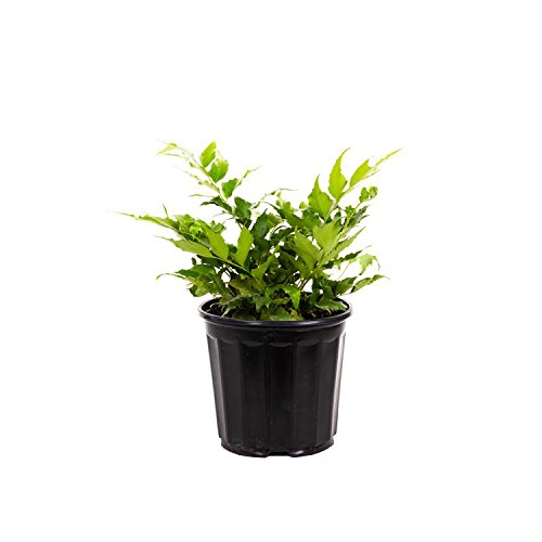 """AMERICAN PLANT EXCHANGE Holly Fern 1 Gallon Live Plant, 6"""" Pot, Indoor/Outdoor Air Purifier"""