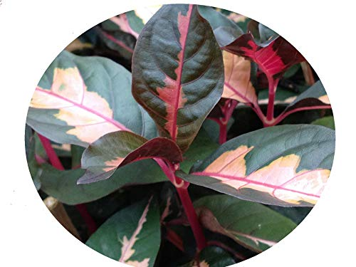CHOCOLATE CARICATURE Jamaican Croton Tropical Live Plant Bronze Pink Variegated Foliage indoor Outdoor Starter Size 4 Inch Pot Emeralds Tm