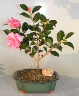 bonsai-boys-flowering-camellia-sasanqua-bonsai-tree-shishi-gashira