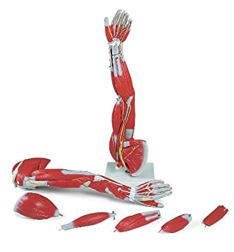 3B Scientific Human Anatomy - Dissectable Muscled Arm Model, 6 Part ...