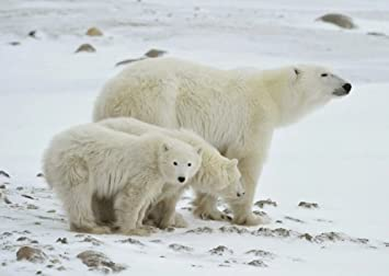 4x6 Polar Bear Photograph Glossy Wildlife Nature Photo Wall Art Animal landscape