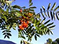 20 ASH TREE Mountain / Amur / Rowan - Sorbus Aucuparia SeedsComb S/H by Seedville