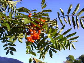 - 20 ASH TREE Mountain / Amur / Rowan - Sorbus Aucuparia SeedsComb S/H by Seedville