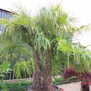 palmier 4 troncs