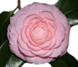 Pink Perfection Camellia Japonica - Live Plant - Quart Pot