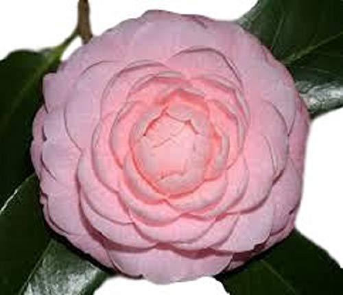 Pink Perfection Camellia Japonica - Live Plant - Quart -
