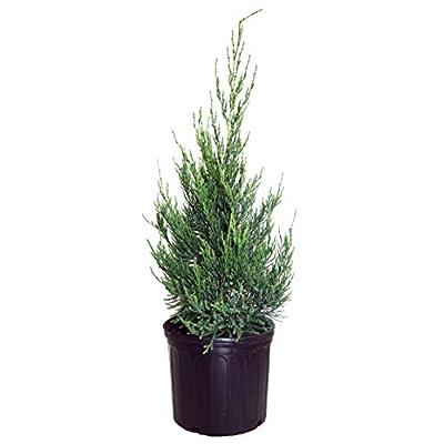 Juniperus chinensis 'Hetzii Columnaris' (Columnar Hetzi Juniper) Evergreen, #3 - Size Container: Garden & Outdoor