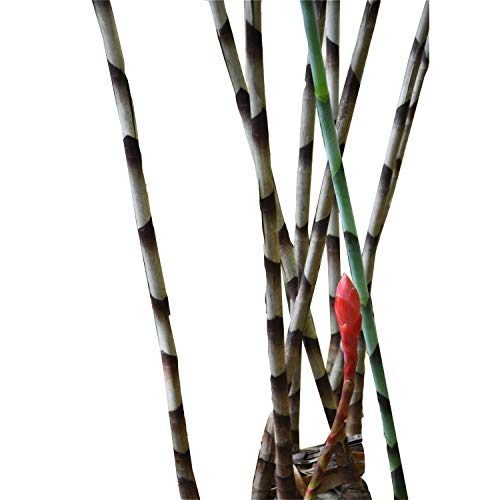 abamec Zebra Bamboo Ginger, Bamboo Costus, Snake Ginger, Red Snake Ginger Excellent Rare House Plant 1 Rhizome/Bulbs