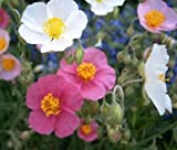 Rock Rose Common MUTABILE Mix Helianthemum Nummularium - 1,000 Bulk Seeds
