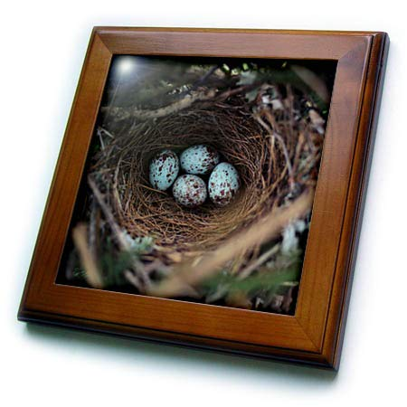 - 3dRose Stamp City - Birds - Photograph of a Mockingbird nest with Four Eggs in Our Leyland Cypress - 8x8 Framed Tile (ft_290762_1)