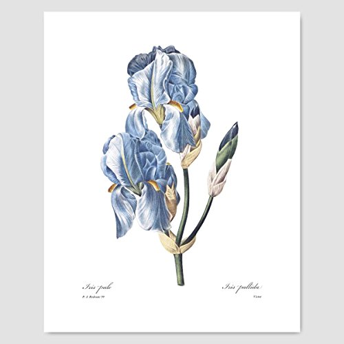 Iris Art, Blue Room Wall Decor (Spring Flower Print, Botanical Chic Home, Garden Artwork) Pierre Redoute -- Unframed