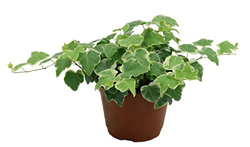 Costa Farms English Ivy Live Indoor Tabletop Plant in 6-Inch Grower Pot
