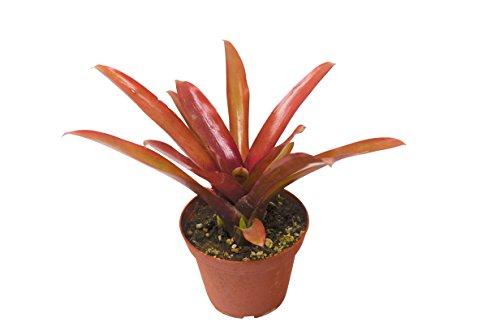"Live Bromeliad in Pot - Live Plant - FREE Care Guide - 4"" Pot"