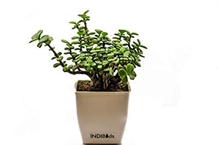 INDIBuds Good Luck Jade Plant (Lucky Plant, Feng Shui Plant, Decorative Plant, Beautiful low maintenance Plant)