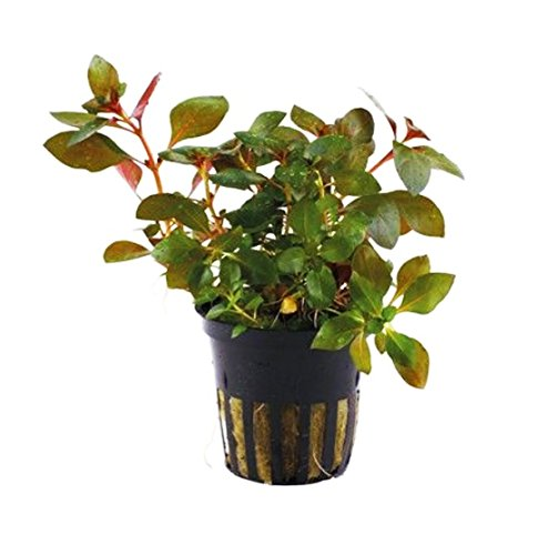 - Greenpro Ludwigia Repens Rubin Super Red Ruby Live Aquarium Plant Decorations for Aquatic Freshwater Fish Tank