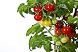 organic cherry tomatoes seeds - RDR Seeds 50 Tiny Tim Tomato Seeds - Patio Tomato, Dwarf Heirloom, Cherry Tomato