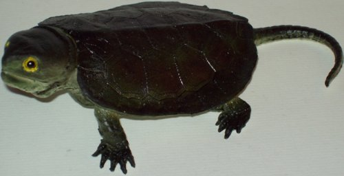 Phil Seltzer Baby Snapping Turtle, 7""