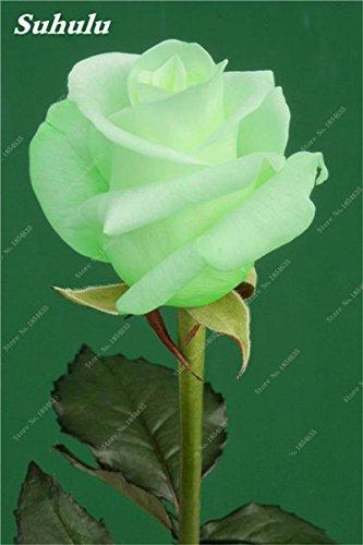 50 Pz Rose Semi Di Fiore Della Rosa Facile Da Coltivare Fai Da Te Giardino  Bonsai