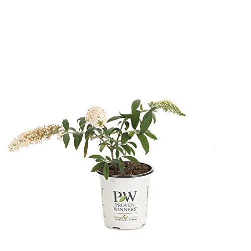 Pugster White Butterfly Bush (Buddleia) Live Shrub, White Flowers, 4.5 in. Quart