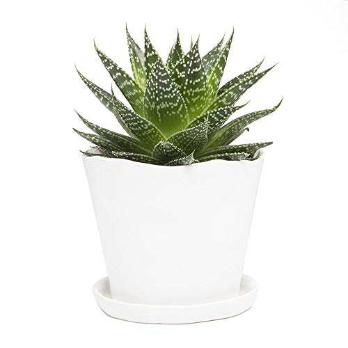 Chive - 5 Inch Big Tika, Large Succulent and Cactus Pot and Saucer Ceramic Flower and Plant Container with Drainage Hole and Detachable Saucer Great for Indoor/Outdoor Garden Decor (White)