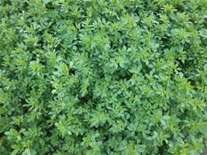 Alfalfa Seed 5lb Bag (COATED)