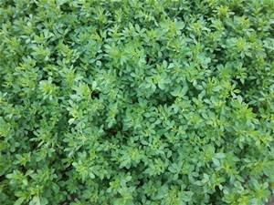 Alfalfa Seed 1lb Bag (COATED) by FARMERS DAUGHTERS SEEDS (Image #3)