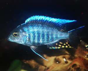 Golden Glove Fishery Blue Peacock Cichlid - African Cichlid -