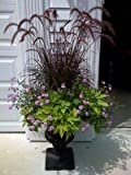 Purple Fountain Grass Seeds Purple Color Contrast