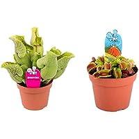 Kit de 2 Plantas Carnívoras en Maceta Pequeña Pack Ahorro Plantas Naturales