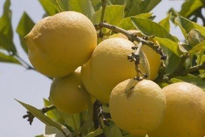 2-3-year-old-2-3-ft-ponderosa-lemon-tree