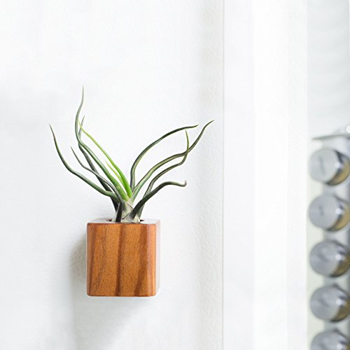 Redwood Magnet, Air Plant Magnet, For Refrigerator, Home and Office, Magnet Boards by Wood Inspire