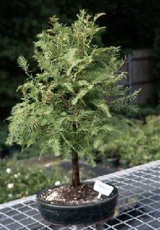 Bonsai Boy's Redwood Bonsai Tree metasequoia glyptostroboides by INDOORBONSAIANDEXOTICS