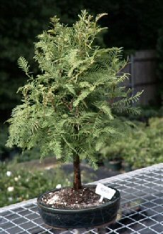 Bonsai Boy's Redwood Bonsai Tree metasequoia glyptostroboides