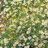 Chamomile Roman - Chamaemelum nobile - 2500 Seeds