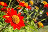 Sweet Yards Seed Co. Mexican Sunflower Seeds - Extra Large Packet - Over 2,500 Open Pollinated Non-GMO Wildflower Seeds - Tithonia rotundifolia
